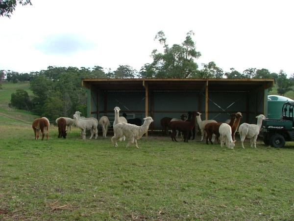 Shelter for alpacas